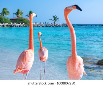 Pink flamingo walking on the beach, Aruba island, Caribbean sea