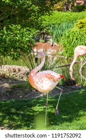 A pink flamingo walks in the shade of a tree on green spring grass as another flamingo eats in a shallow pond in the background.