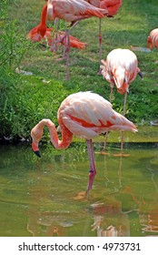 A Pink Flamingo in water in front of other flamingos on grass