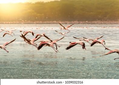 Pink flamingoes in flight at Lake Oloiden, kenya iin the sunset light