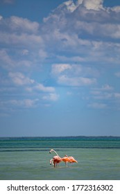 Pink flamingoes in the turquoise water in Holbox island