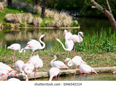 Pink Flamingoes in the water, horizontal image