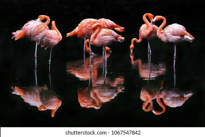 Pink Flamingos against dark background.