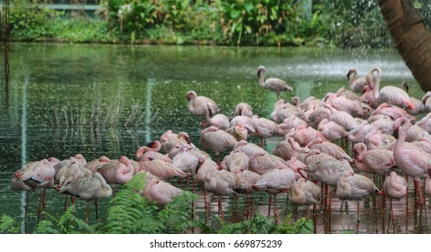 Pink flamingos (American/lessor flamingos ) by a lake