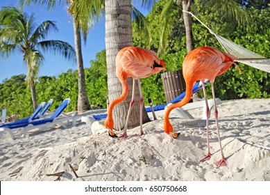 Pink Flamingos, Aruba island, caribbean sea