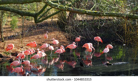 Pink flamingos in colchester zoo