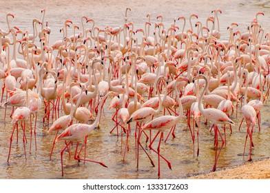 Pink flamingos in the lagoon Ras al Khor in Dubai, United Arab Emirates.