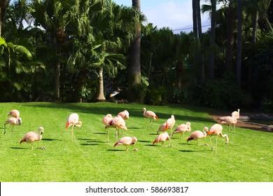 The pink flamingos on a beautiful landscape. Loro Park Spain, Tenerife.