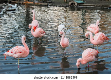 Pink flamingos on the lake