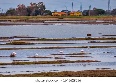 Pink flamingos of the Padule Orti-Bottagone nature reserve which is a protected natural area located in the municipality of Piombino Tuscany Italy