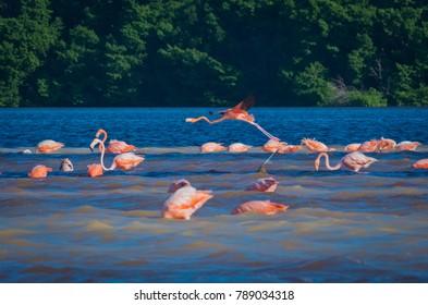 pink flamingos (phoenicopterus ruber) in Celestun, Mexico