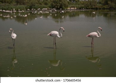 Pink flamingos in the pond in national park Camargue, France. Summer 2018.