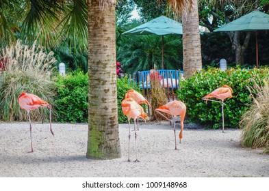 Pink flamingos walking on beautiful tropical beach