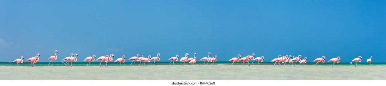 Pink flamingos in water near Holbox island in Mexico