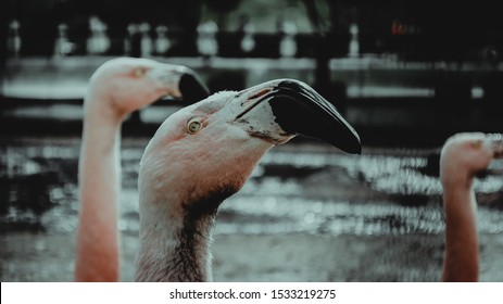 pink flamingos with whites and red bill in the water