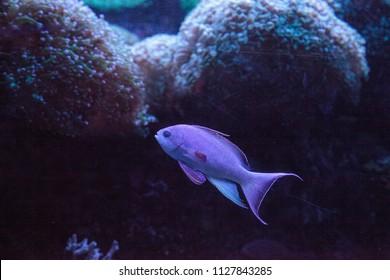 Pink flasher wrasse Paracheilinus carpenteri swims across a marine reef.
