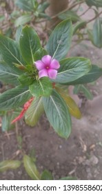 a pink floer with leaf