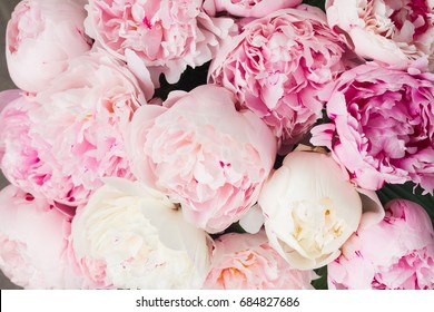 Pink floral background of fresh pink peony flowers buds