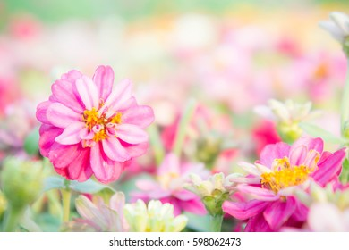 pink floral in garden , flower zinnia elegant , color nature background colorful flowers