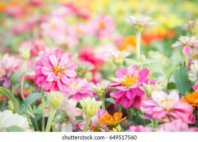 pink floral in garden , flower zinnia elegans , color nature background