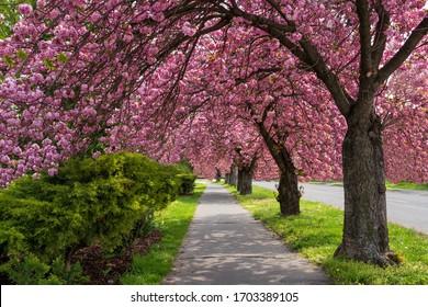 pink flourish sakura trees in spring