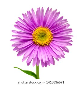 Pink flower aster alpine isolated on white background with clipping path. Macro, daisy. Floral pattern, object. Flat lay, top view