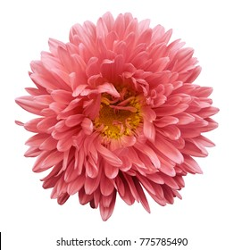 Pink flower Aster on a white isolated background with clipping path. Flower for design, texture,  postcard, wrapper.  Closeup.  Nature.