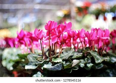 pink flower blooming in garden winter season,nuture background.