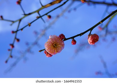 Pink flower blooms of the Japanese ume apricot tree, prunus mume
