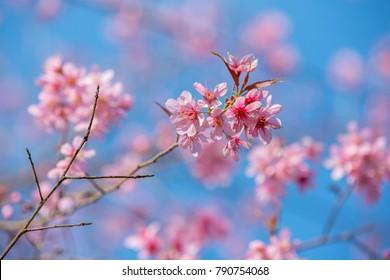 Pink flower blossom north of Thailand Winter