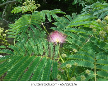 A pink flower blossoming on a mimosa tree in East Tennessee, USA.