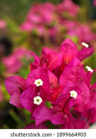 Pink flower Bougainvillea glabra blooming in garden with soft selective focus ,delicate dreamy beauty of nature for pretty blurred background ,macro image ,sweet color ,copy space ,lovely wallpaper