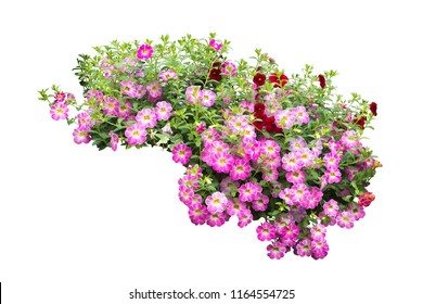 pink flower bush tree isolated  plant isolated with clipping path