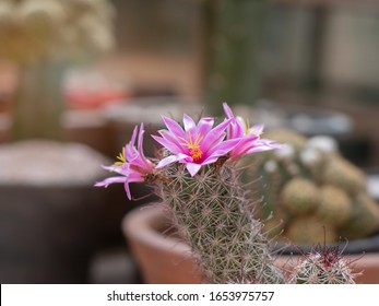 Pink flower cactus blooming with cactus background,Mammillaria grahamii,Fishhook cactus (Mammillaria)