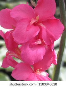 Pink Flower, Canna Lily, Closeup Pink Floral Image