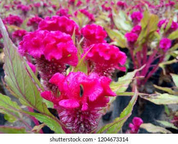 pink flower of celosia argentea var cristata