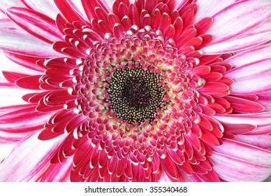Pink flower center and petals closeup macro