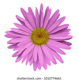 Pink flower chamomile on a white isolated background with clipping path.  Closeup no shadows. Garden  flower. Nature.