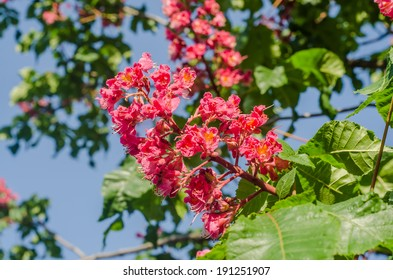 Red horse chestnut images stock photos vectors shutterstock pink flower of chestnut tree mightylinksfo Gallery