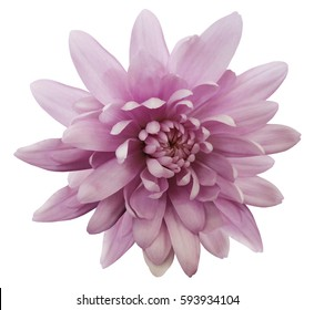 pink flower chrysanthemum.  garden flower.  white  isolated background with clipping path.  Closeup. no shadows.  Nature.