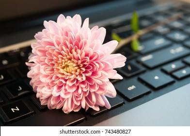 pink flower chrysanthemum on the keyboard