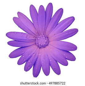 pink flower with clipping path isolated on white  background. garden flower calendula. Closeup.  water drops. Nature.