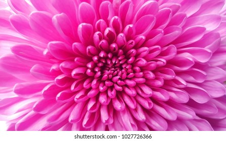 Pink flower, Close up petal of pink Chrysanthemum flower or pink flower image use for web design and pink flower background