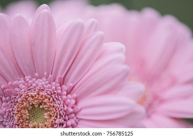 Pink flower. Close-up Gerbera flower. Floral background.