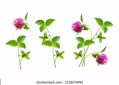 Pink flower clover isolated on white background.