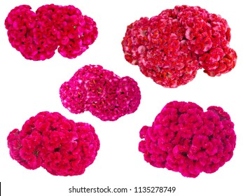 Pink flower, Cockscomb or Chinese Wool Flower (Celosia argentea), isolated on a white background