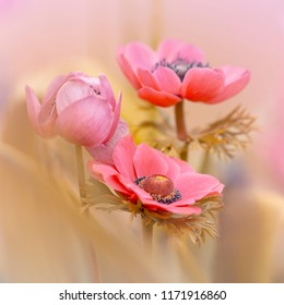 Pink Flower - Pink Crown Anemone (Anemone coronaria) or Garden Anemone