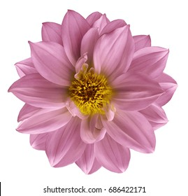 Pink flower Dahlia  on  isolated white  background with clipping path.  Closeup. Beautiful  flower for design.  Nature.