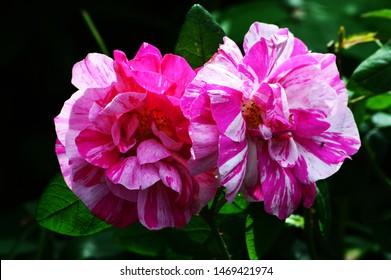 Pink flower in English garden