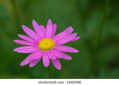 Pink flower European Michaelmas Daisy (Aster Amellus) on green blurred background